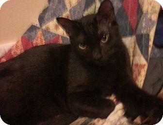 Domestic Shorthair Cat for adoption in Huntsville, Alabama - Bashful