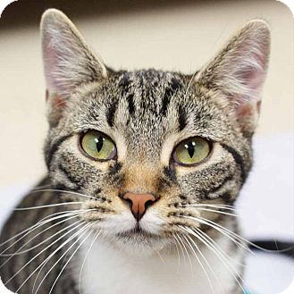 Domestic Shorthair Cat for adoption in Naperville, Illinois - Gilbert