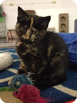 Domestic Shorthair Kitten for adoption in Austintown, Ohio - Lola