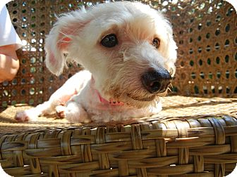 Poodle (Miniature) Mix Dog for adoption in Houston, Texas - Ivy