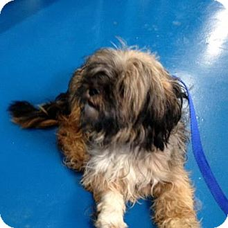 Lhasa Apso Dog for adoption in Newburgh, Indiana - Scarlette