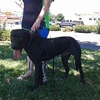 Weimaraner/Great Dane Mix Dog for adoption in Olivehurst, California - Buddy Weim