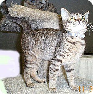 Domestic Mediumhair Cat for adoption in Fayetteville, Georgia - Anya