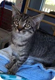 Domestic Shorthair Kitten for adoption in Porter, Texas - Fifty