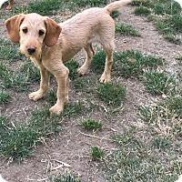 Adopt A Pet :: Popcorn - Tumwater, WA