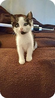 Domestic Shorthair Kitten for adoption in Tampa, Florida - Rey