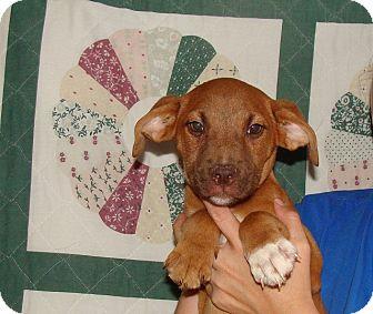 Labrador Retriever/Golden Retriever Mix Puppy for adoption in Oviedo, Florida - Mel
