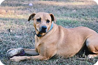 Labrador Retriever/Mountain Cur Mix Dog for adoption in Ruston, Louisiana - Cookie
