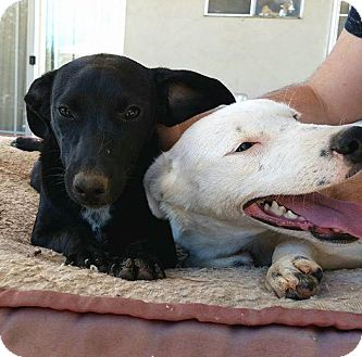Labrador Retriever/Shepherd (Unknown Type) Mix Puppy for adoption in cupertino, California - SNOW