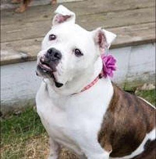 American Bulldog Dog for adoption in Barrington Hills, Illinois - Thelma