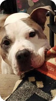 American Pit Bull Terrier/American Staffordshire Terrier Mix Dog for adoption in Harriman, Tennessee - Steve