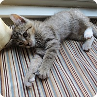 Adopt A Pet :: Snickers - Fairfax, VA