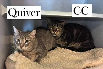 Domestic Shorthair Cat for adoption in Lakewood, Colorado - CC