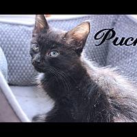Adopt A Pet :: Puck - Media, PA