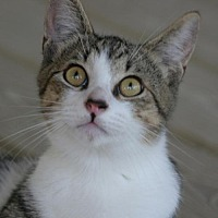 Adopt A Pet :: Jerry - North Fort Myers, FL