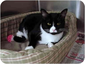 Domestic Shorthair Cat for adoption in Greenville, South Carolina - Midnight