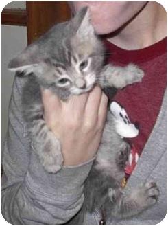 Domestic Mediumhair Kitten for adoption in Brighton, Michigan - Admiral