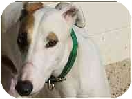 Greyhound Dog for adoption in St Petersburg, Florida - Clint