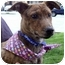 Photo 4 - Whippet/Terrier (Unknown Type, Small) Mix Puppy for adoption in Sacramento, California - Lola sweety