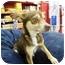 Photo 1 - Chihuahua Dog for adoption in Sugar Land, Texas - Chichi