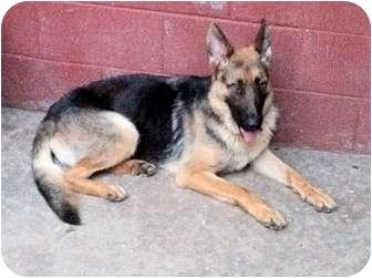 German Shepherd Dog Dog for adoption in Roswell, Georgia - Abbey