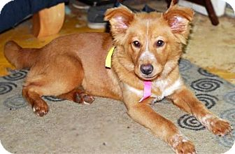 Nova Scotia Duck-Tolling Retriever Mix Dog for adoption in Westfield, Massachusetts - Butterscotch