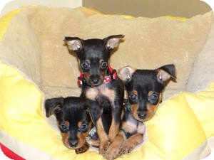 Yorkie, Yorkshire Terrier Mix Puppy for adoption in Marlton, New Jersey - Princess and her babies