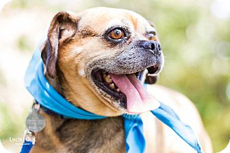 Pug Mix Dog for adoption in Chattanooga, Tennessee - Pepsi