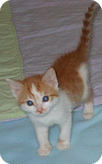 Domestic Shorthair Kitten for adoption in Tillamook, Oregon - Lo