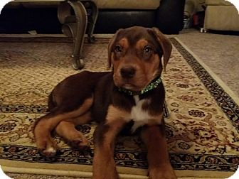 Doberman Pinscher/Foxhound Mix Puppy for adoption in New Oxford, Pennsylvania - Rolo