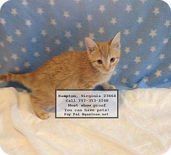Domestic Shorthair Kitten for adoption in Hampton, Virginia - oliver
