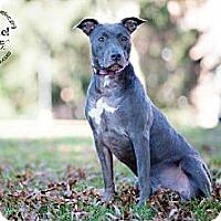 Adopt A Pet :: Seven - New Canaan, CT