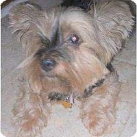 Adopt A Pet :: Suzie Q - Greensboro, NC
