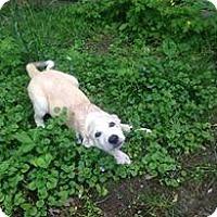 Adopt A Pet :: Iris - New Boston, NH