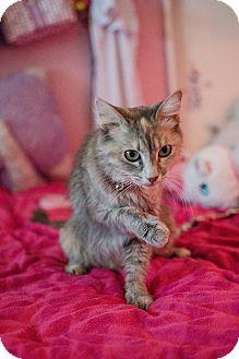 Maine Coon Cat for adoption in Phoenix, Arizona - Zilla