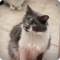 Adopt A Pet :: Grey - San Antonio, TX