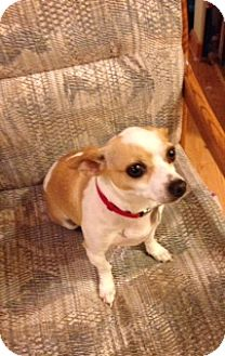Chihuahua Mix Dog for adoption in Seattle, Washington - Butter