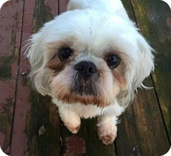 Shih Tzu Dog for adoption in Union Grove, Wisconsin - Lilly