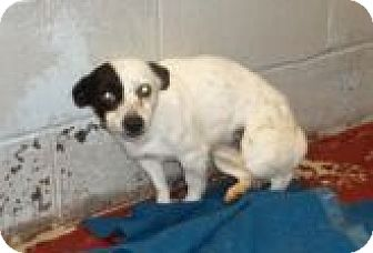 Chihuahua/Australian Cattle Dog Mix Dog for adoption in Silver City, New Mexico - Layla