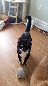 Domestic Shorthair Cat for adoption in Codorus, Pennsylvania - Crimpy
