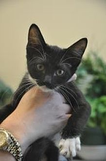 Domestic Shorthair/Domestic Shorthair Mix Cat for adoption in Pompano Beach, Florida - Sage