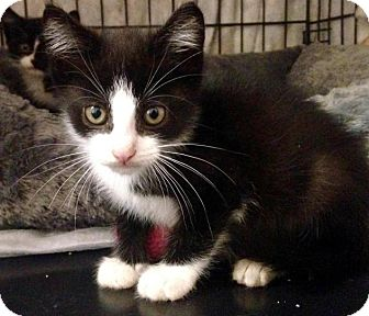 Domestic Shorthair Kitten for adoption in River Edge, New Jersey - Skimbleshanks