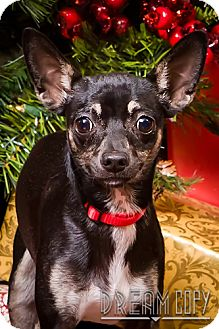 Chihuahua/Terrier (Unknown Type, Small) Mix Dog for adoption in Owensboro, Kentucky - Soxy