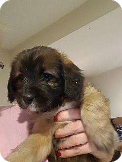 Terrier (Unknown Type, Medium) Mix Puppy for adoption in WESTMINSTER, Maryland - Beans