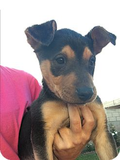 Rottweiler/Retriever (Unknown Type) Mix Puppy for adoption in LAKEWOOD, California - Becky