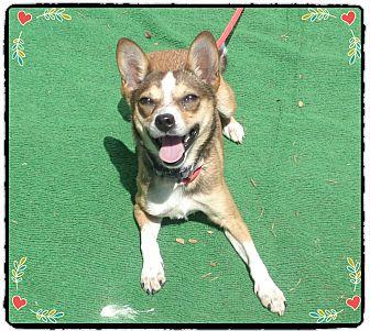 Chihuahua Mix Dog for adoption in Marietta, Georgia - TINSLEY (R)