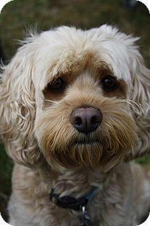Cockapoo Mix Dog for adoption in Linden, North Carolina - Baxter