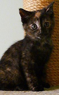 Domestic Shorthair Kitten for adoption in Budd Lake, New Jersey - Tootsie