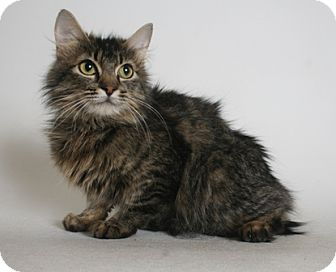 Domestic Longhair Cat for adoption in Redding, California - Princess Bubblegum