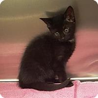 Adopt A Pet :: Velvel - Americus, GA